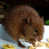 easternchestnutmouse