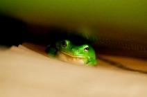 frog, © Alicia Fox
