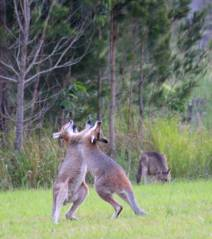 boxing roos